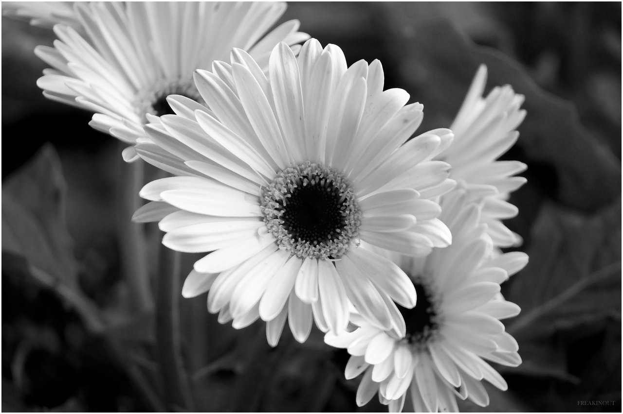 Black And White Images Of Flowers 12 Free Wallpaper ...