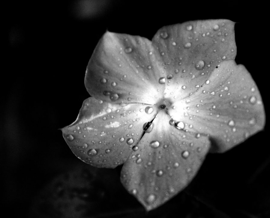 Black And White Images Of Flowers 9 Background ...