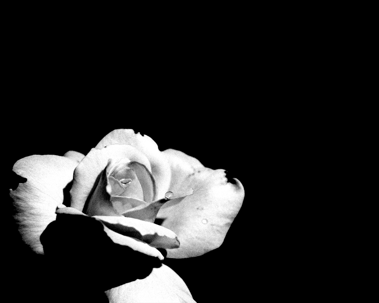 Black and white images of flowers 20 hd wallpaper - White and black wallpaper ...