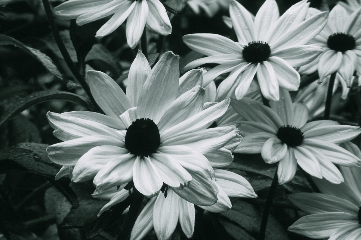 Black and white images of flowers 19 desktop background black and white images of flowers 19 desktop background mightylinksfo