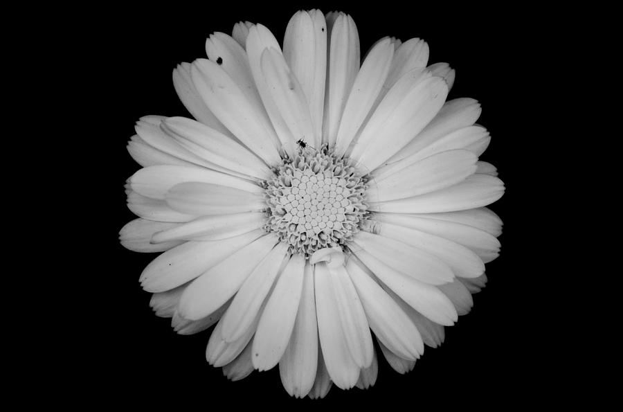Black And White Images Of Flowers 23 Desktop Wallpaper ...