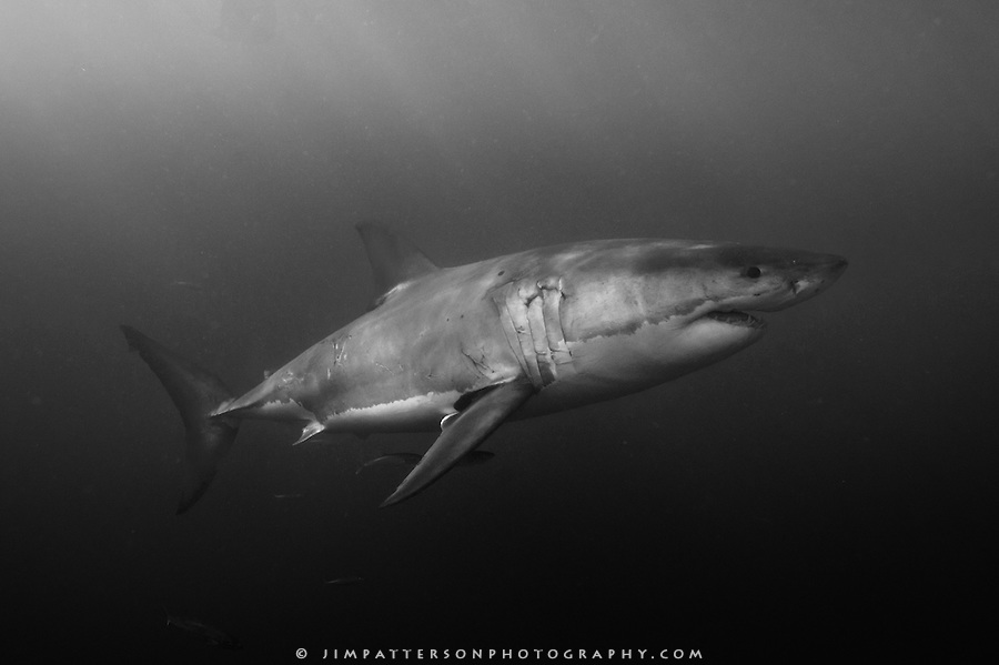 Black And White Images Of Sharks  6 Wide Wallpaper