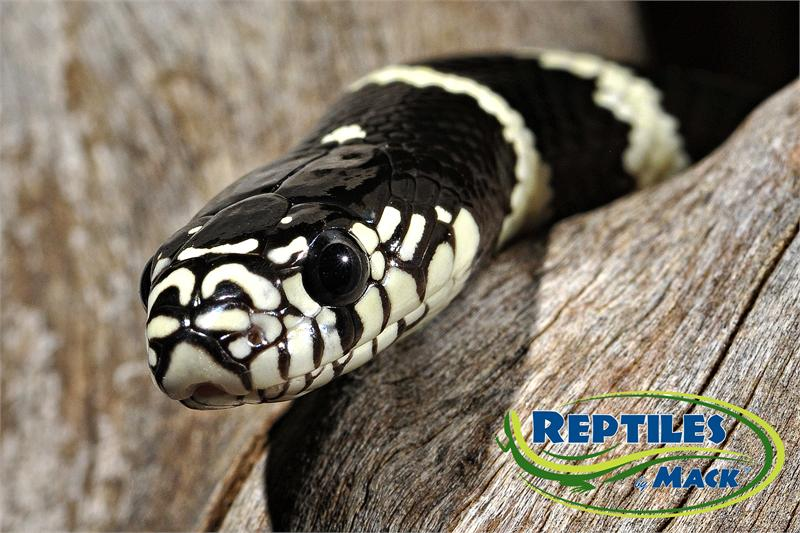 Black And White Images Of Snakes 20 Cool Wallpaper