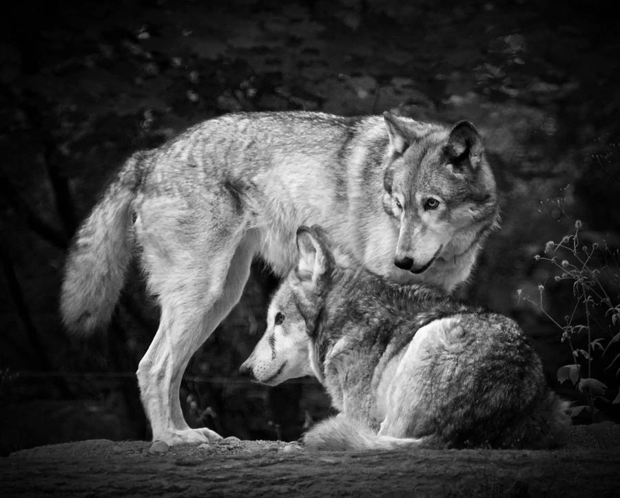 Black And White Wolf 1...