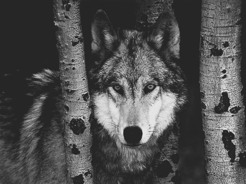 Black And White Wolf 26 Free Wallpaper