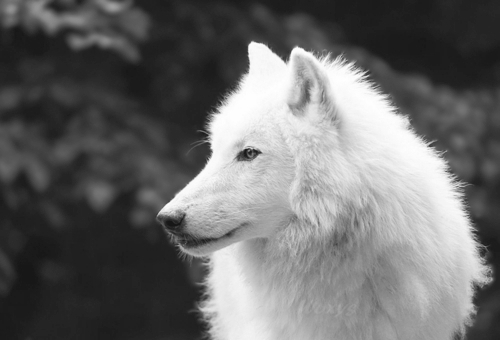 Black And White Wolf 28 Free Wallpaper