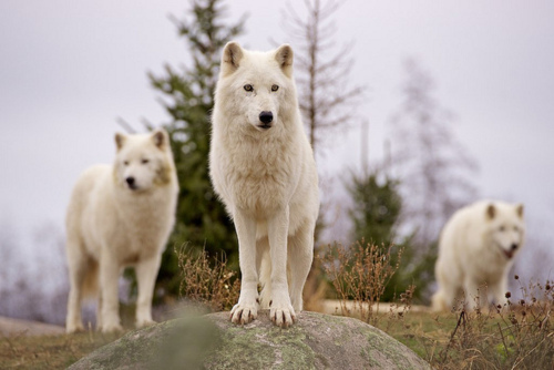 Black And White Wolf 3...