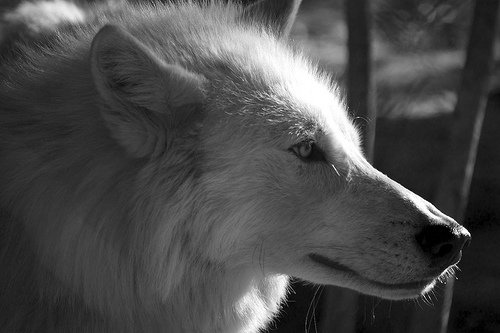 [Image: black-and-white-wolf-4-desktop-wallpaper.jpg]