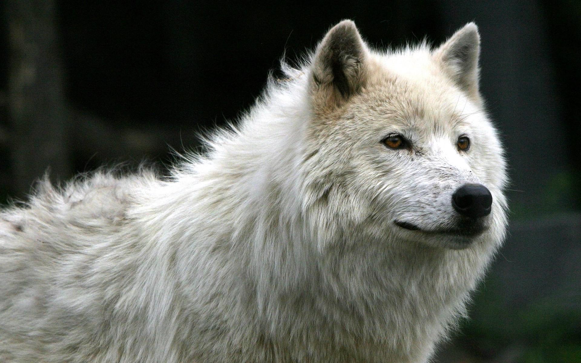 Black And White Wolf 35 Desktop Wallpaper ...