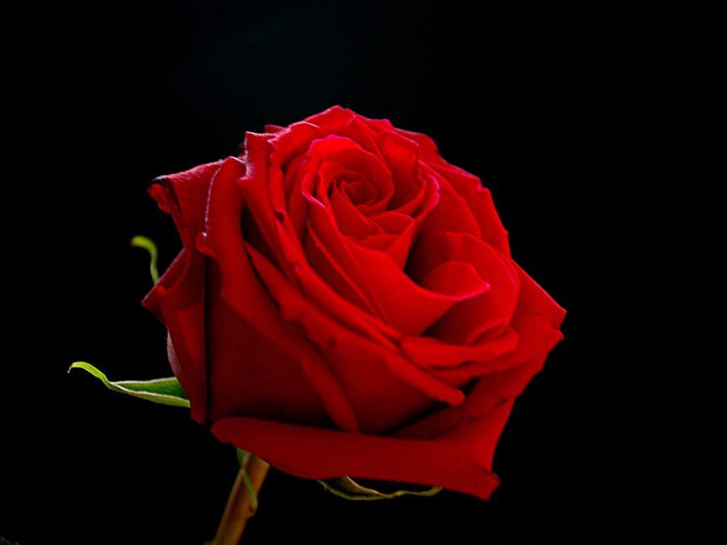 Red and black rose wallpapers 18 desktop background - Black and red rose wallpaper ...