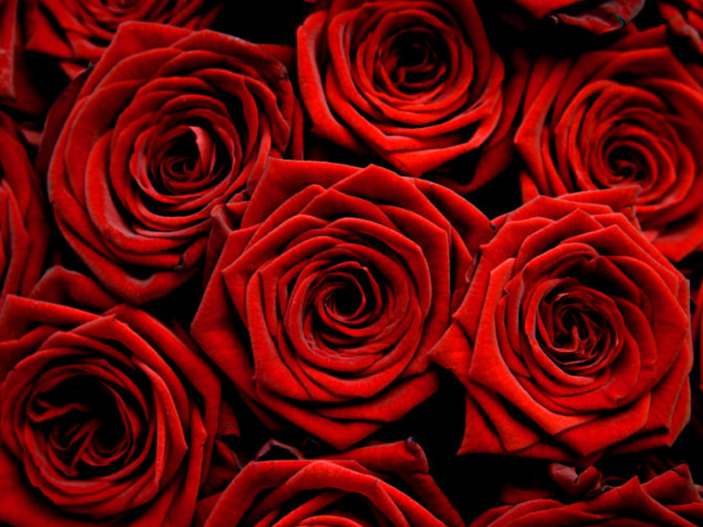 Red roses wallpaper - Red And Black Rose Wallpapers 22 Wide Wallpaper Red And Black Rose Wallpapers 22 Wide Wallpaper