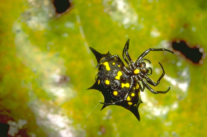 Black And Yellow Spider 51 High Resolution Wallpaper