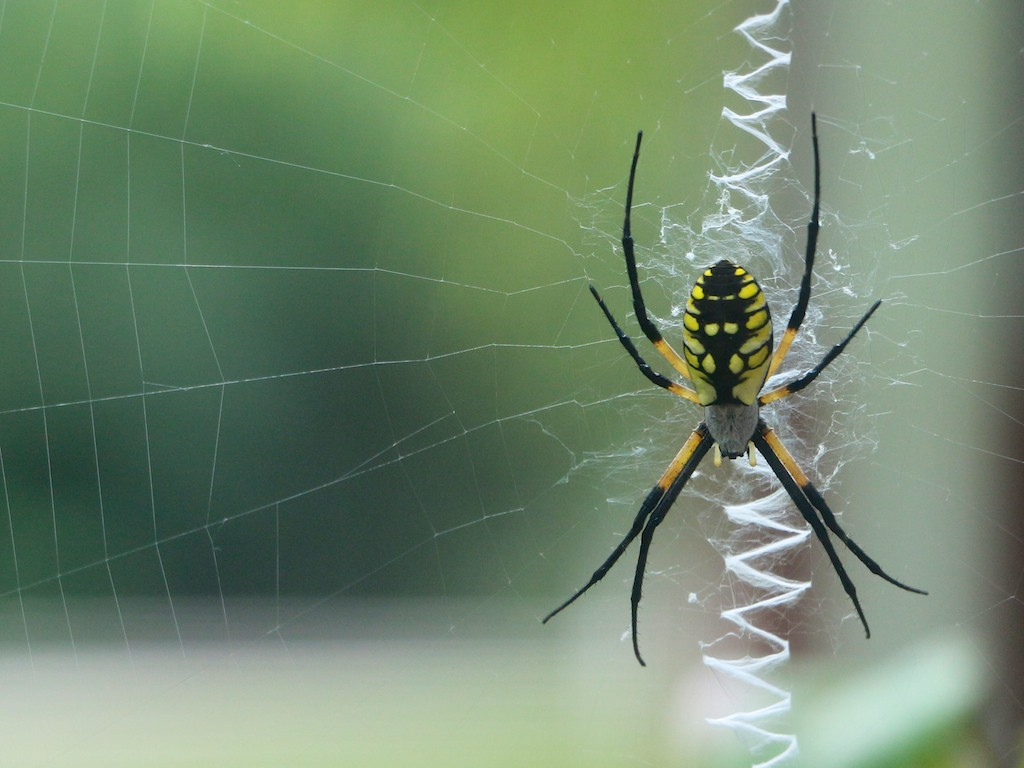 Black And Yellow Spider 59 Free Wallpaper