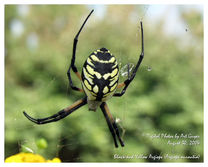 Black And Yellow Spider 58 Background Wallpaper ...