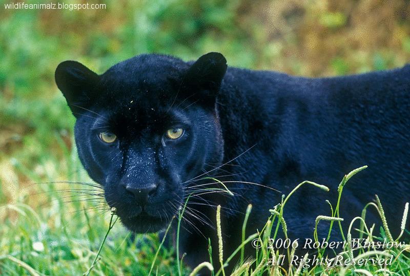 Black Panthers 12 Cool Hd Wallpaper