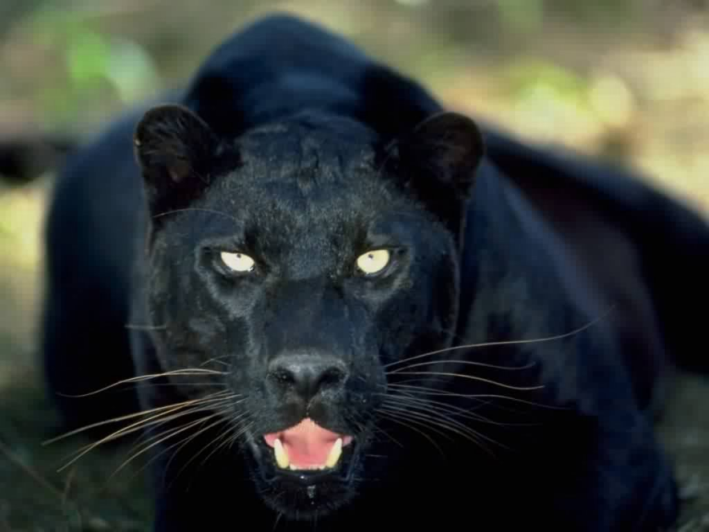 the black panthers Black panthers, us african-american militant party, founded (1966) in oakland, calif, by huey p newton and bobby seale originally aimed at armed self.