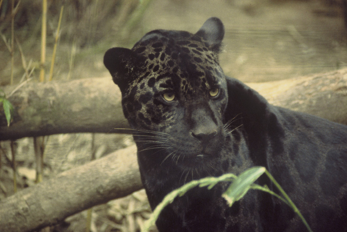 Black Panthers 4 Cool Hd Wallpaper