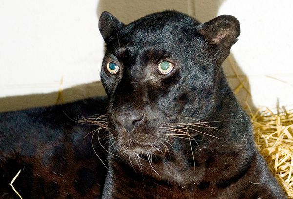 Exotic Cats For Sale In Illinois