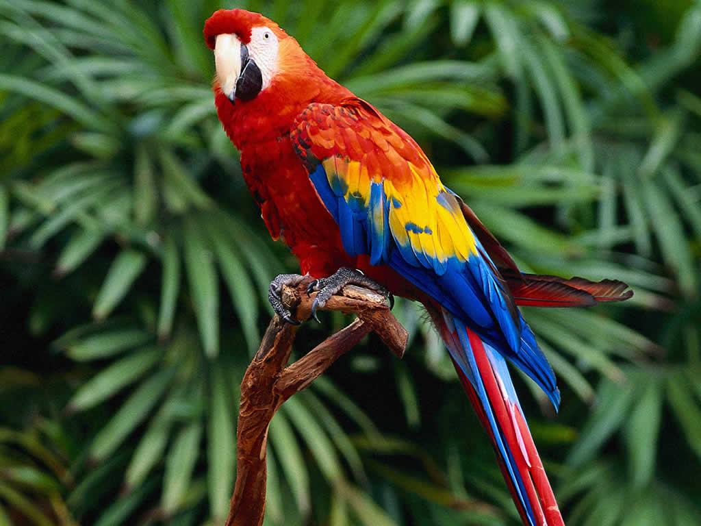 Parrot 15 Free Wallpaper