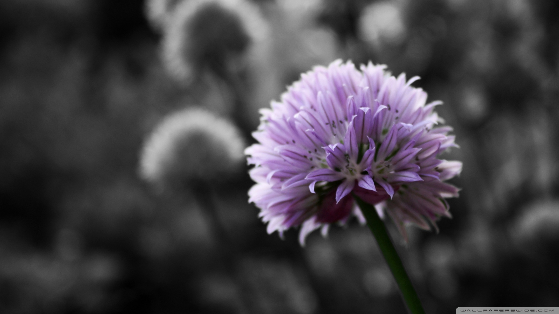 Black And White Images Of Flowers 28 Hd Wallpaper