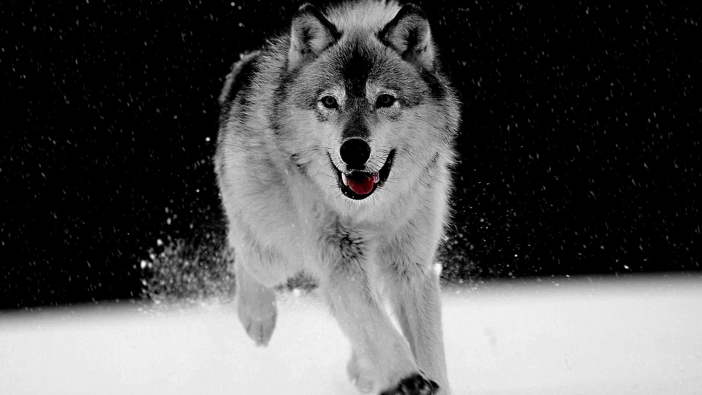 Black And White Wolf 35 Desktop Wallpaper Hdblackwallpapercom