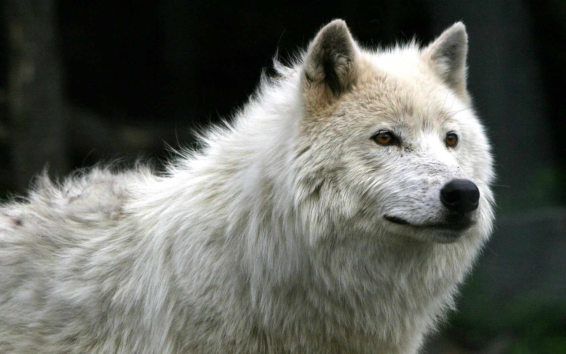 Black And White Wolf 6 Free Hd Wallpaper Hdblackwallpaper Com