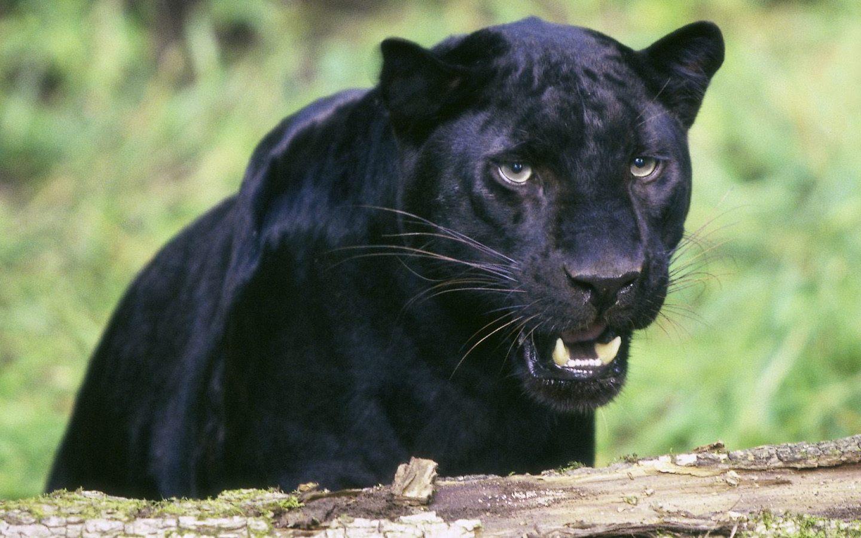 Black Panthers 21 High Resolution Wallpaper